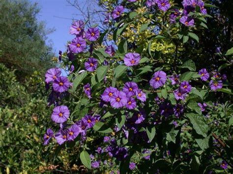 cespuglio con fiori viola solanum rantonnetii solanum rantonnetii piante da