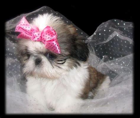sweet tooth shih tzu 25 beste idee 235 n imperial op shihtzu pekingese honden