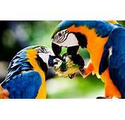 Colorful Parrots Kissing Wallpaper  New Hd WallpaperNew