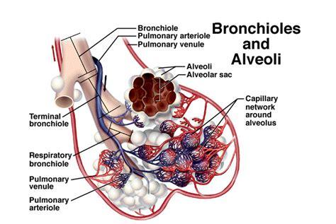 diagram of bronchioles bronchiole junglekey fr image