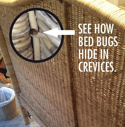 where do bed bugs hide on your body cowleys pest services pests we treat photo album bed