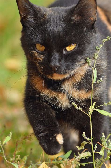 Cat Ct010 Brown Yellow 36 best images about tortoiseshell cats on calico cats cats and wabi sabi