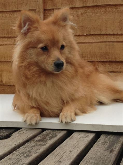 oldest pomeranian 9 month pomeranian wakefield west pets4homes