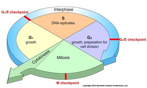 this diagram of the human cycle shows that cell cycle diagrams diagram site