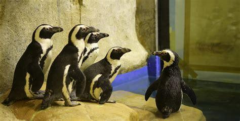 Pakan Ikan Hiro gl zoo sediakan 1 ton ikan untuk pakan pinguin yogya