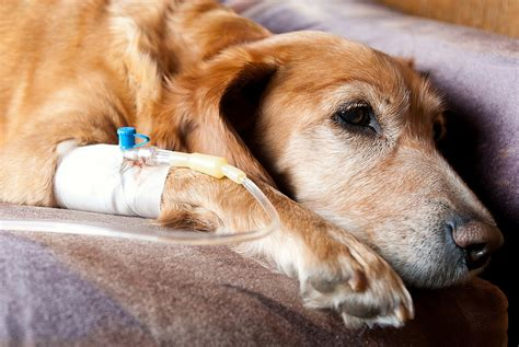 can dogs get cancer canine blood donors help injured sick animals the