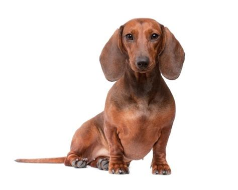 how to stop being light headed breed review dachshund dogs argos pet insurance