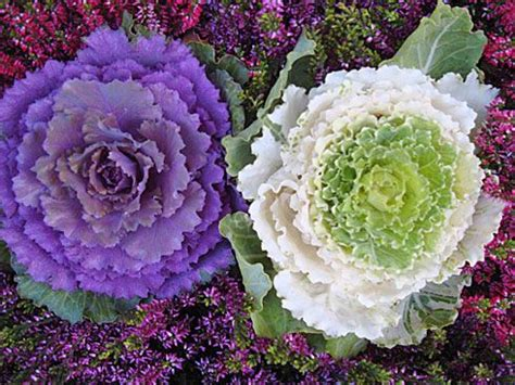 ornamental cabbage indoors 17 best images about fall fabulous fall on pinterest