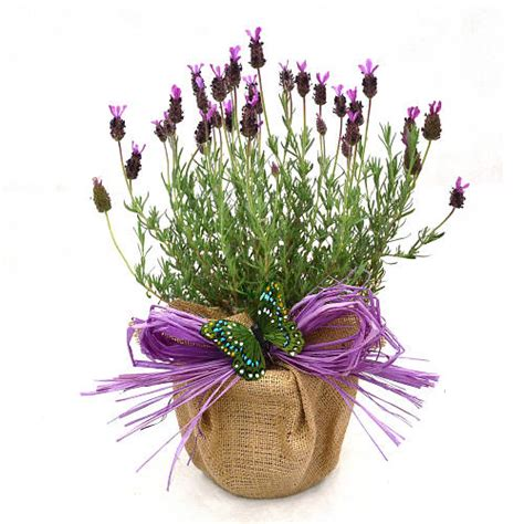 Bunga Lavender Pot 38 fragrant plant gift aromatic lavender by giftaplant notonthehighstreet