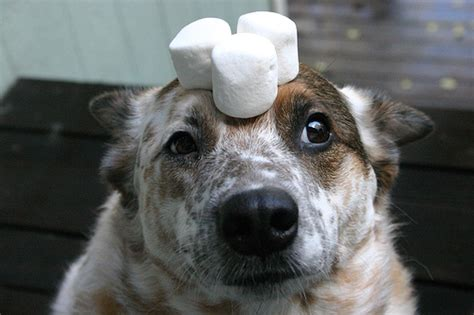 can dogs marshmallows patience and marshmallows pluck