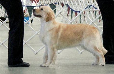 fernfall golden retrievers fernfall golden retrievers est