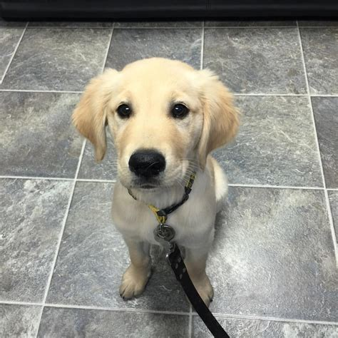 golden retriever puppies plymouth veterinarian michigan
