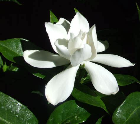 gardenias flower the citrus guy january 2011