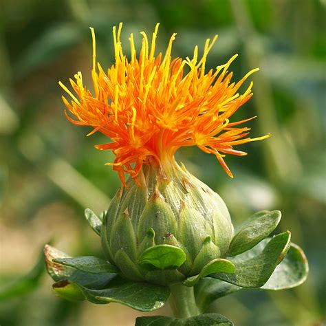 a safflower flower carthamus tinctorius a thistle flickr