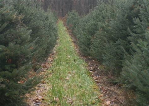 cut your own trees for christmas in the hudson valley