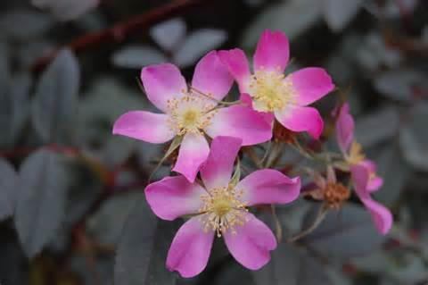 Red Flower Shrub - rosa glauca landscape architect s pages