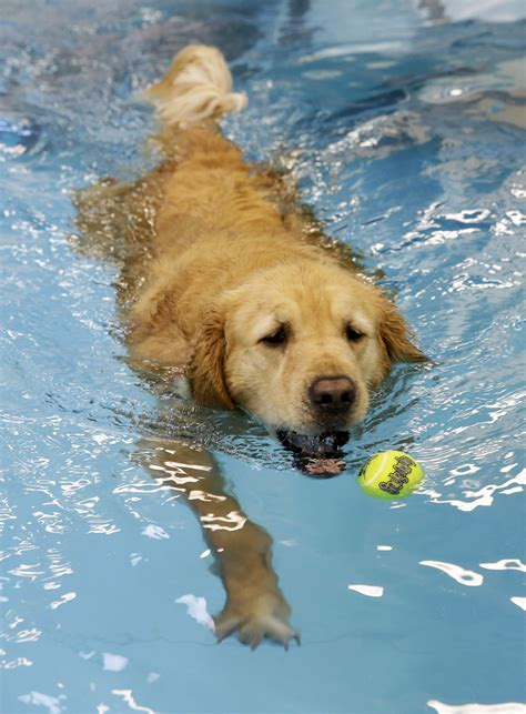 golden retriever exercise owners send dogs to farms as more pets become obese new york post