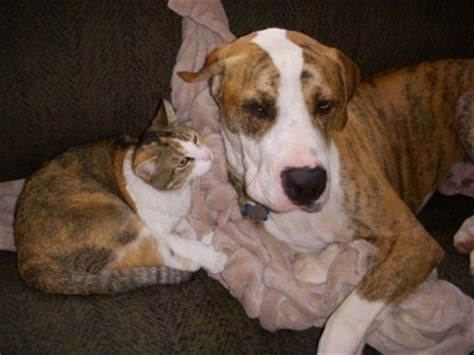 great dane mix puppies gallery american bulldog great dane mix puppies