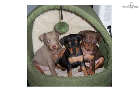 chocolate miniature pinscher puppies for sale puppies for sale from candies min pins member since july 2004
