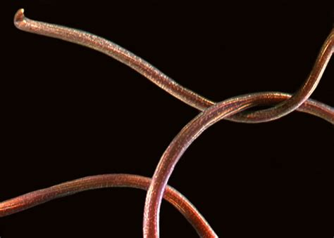 horse hair worms unsegmented worms manaaki whenua