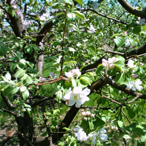 fruit trees for zone 4 trent apple tree a mcintosh seedling the hardy fruit