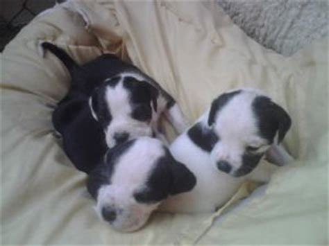 bull terrier puppies for sale in nj american pit bull terrier puppies in new jersey