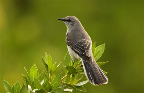 A Mocking northern mockingbird information traderscreek