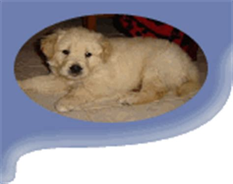 golden retriever hip dysplasia treatment labrador health the story of pablo the golden retriever with hip dysplasia