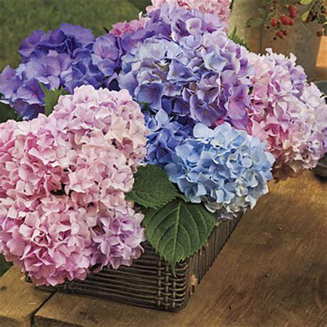 french hydrangea cut flowers gardening 101 french
