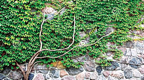 growing up the art of climbing plants saturday magazine