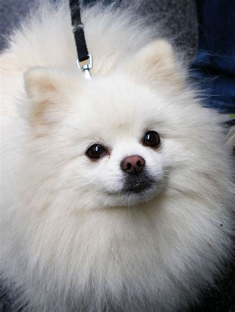 small white pomeranian puppies best 25 white pomeranian ideas on white pomeranian puppies pomeranian