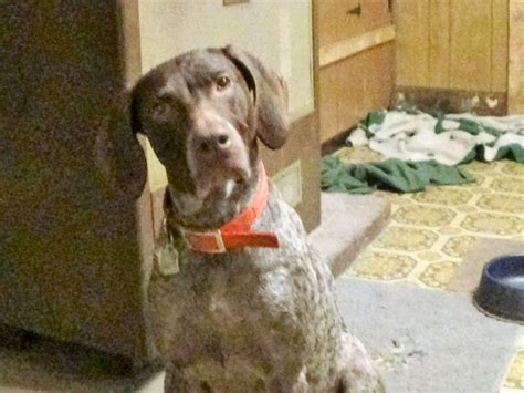 ohio sheltie puppies for sale 250 german shorthaired pointer puppies for sale in pennsylvania akc marketplace
