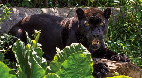 the jaguar tycoon books army zoo provides safe for rescued