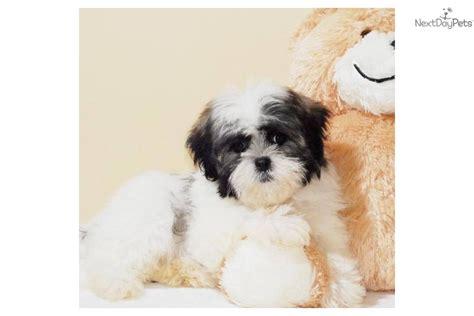 free shih tzu puppies in ohio shih tzu puppy for sale near columbus ohio 45cb88a5 bcc1