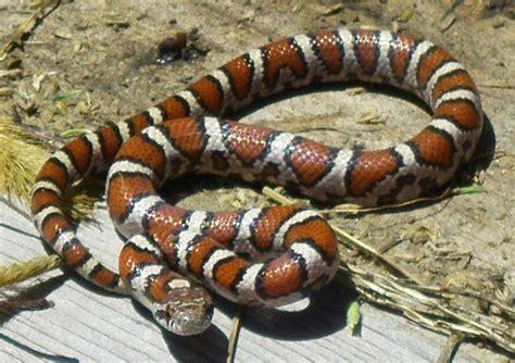 Garden Snake Tennessee Identify Snakes Of Iowa