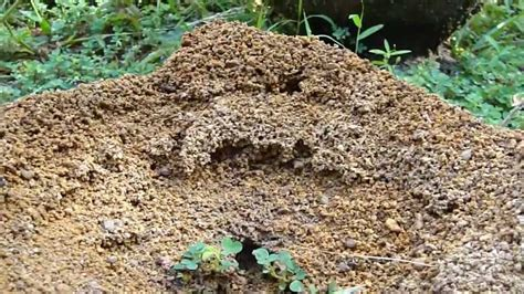 ant bed hard working ants building nest ant hill youtube