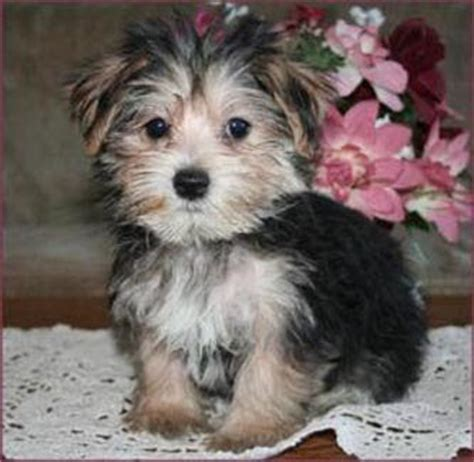 how much is a miniature yorkie miniature terrier mini yorkies from around the world