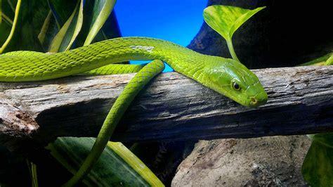 la verde dendroaspis angusticeps la enciclopedia libre