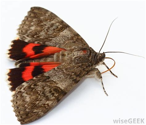How To Kill Moths In Closet by What Are The Best Ways To Kill Moths With Pictures