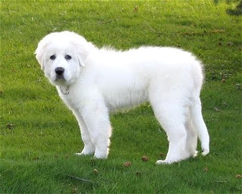 Do Pyrenees Shed by Great Pyrenees I Want This Now Snooppy Miss