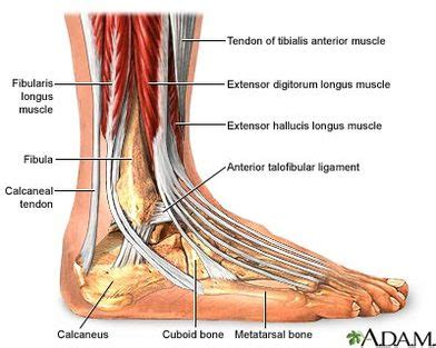 ankle diagram diagram the ankle