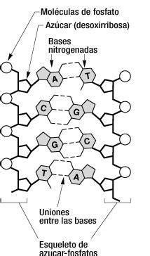 union de cadenas de adn caracter 237 sticas del n 250 cleo interf 225 sico