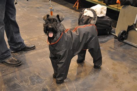 puppy raincoat what happens when this writer enters the show ring at crufts