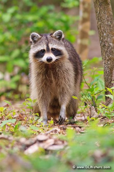 dead raccoon in my backyard 390 best raccoons images on pinterest animals wild