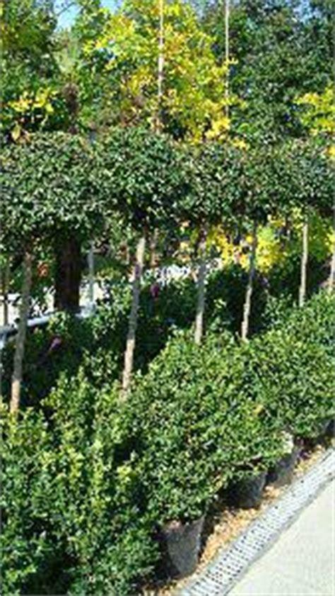 ligustrum topiary trees topiary lollipop privet topiary ligustrum jonandrum uk
