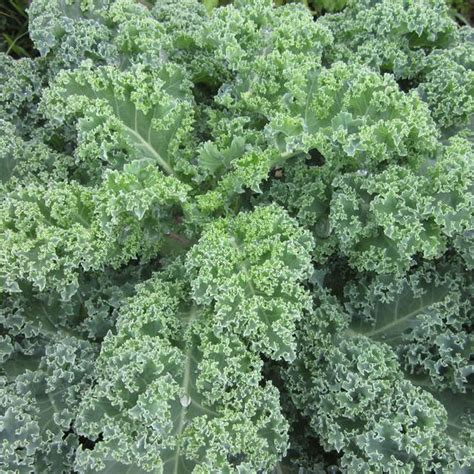 Seed Kale Curly 1 early curled siberian kale seeds brassica napus var pabularia cv
