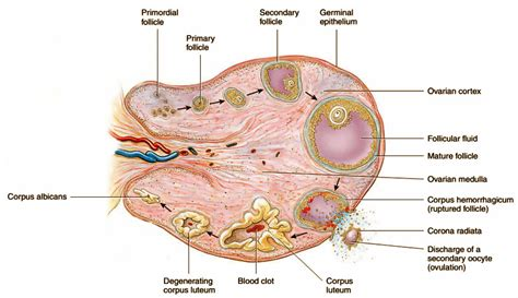 ovary diagram menstrual cycle neet aipmt biology study material notes