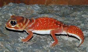 Knob Tailed Gecko by Knob Tailed Gecko Care Sheet