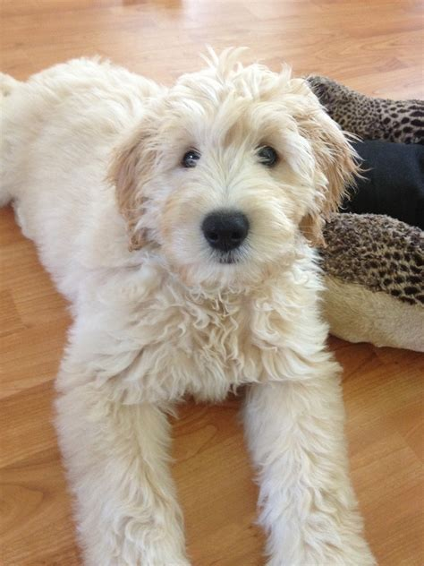 mini goldendoodle weight f1 goldendoodles 35 lbs