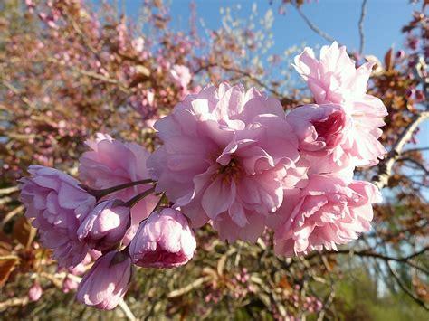 sierkers met witte bloemen cool roze dichtbij flora seizoen bloemen struik knop